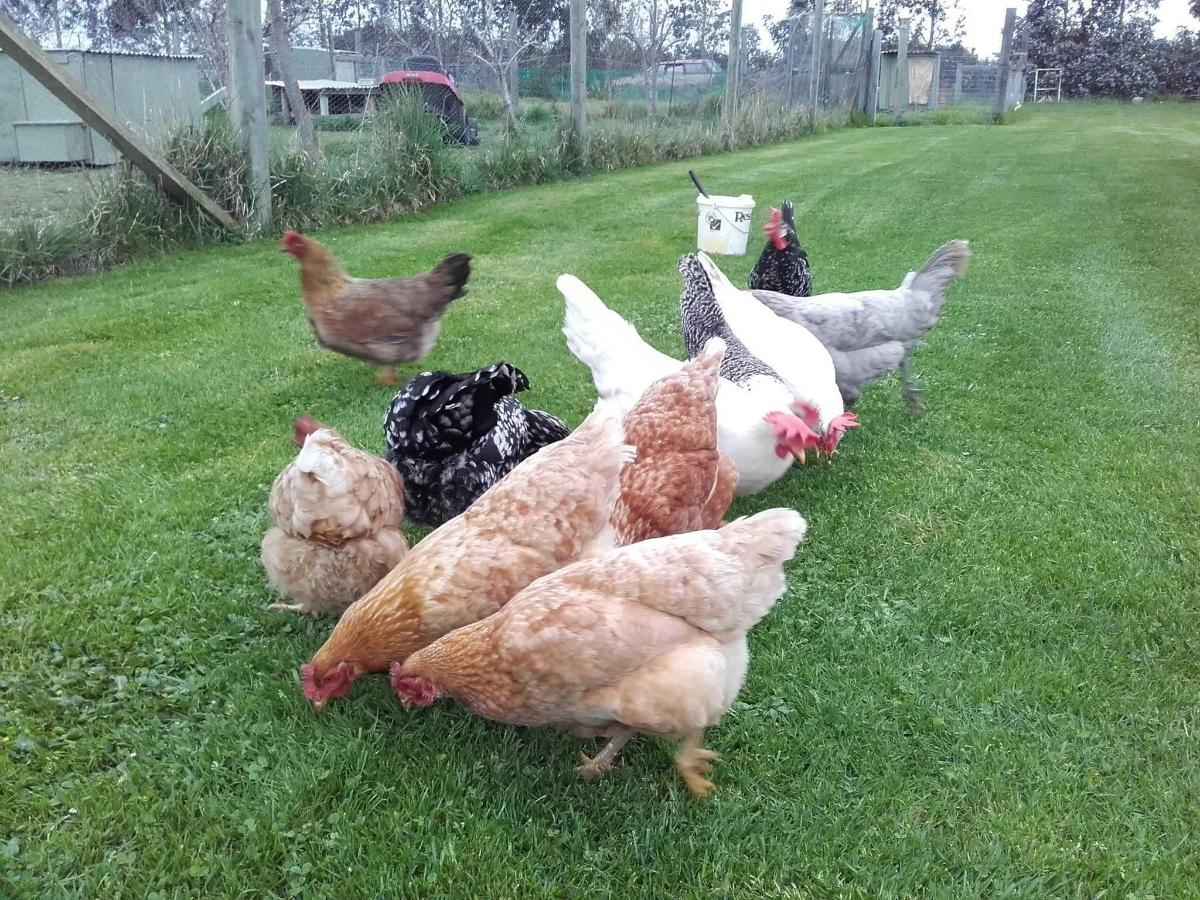 Our hens.jpg