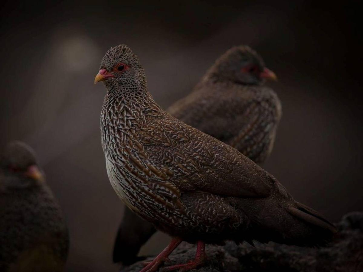 Birding safaris with Saruni- Stone Partridge.jpg