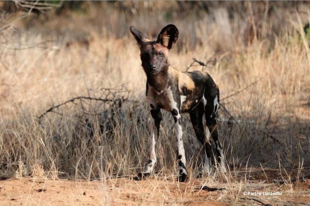 African Wild dogs.jpg