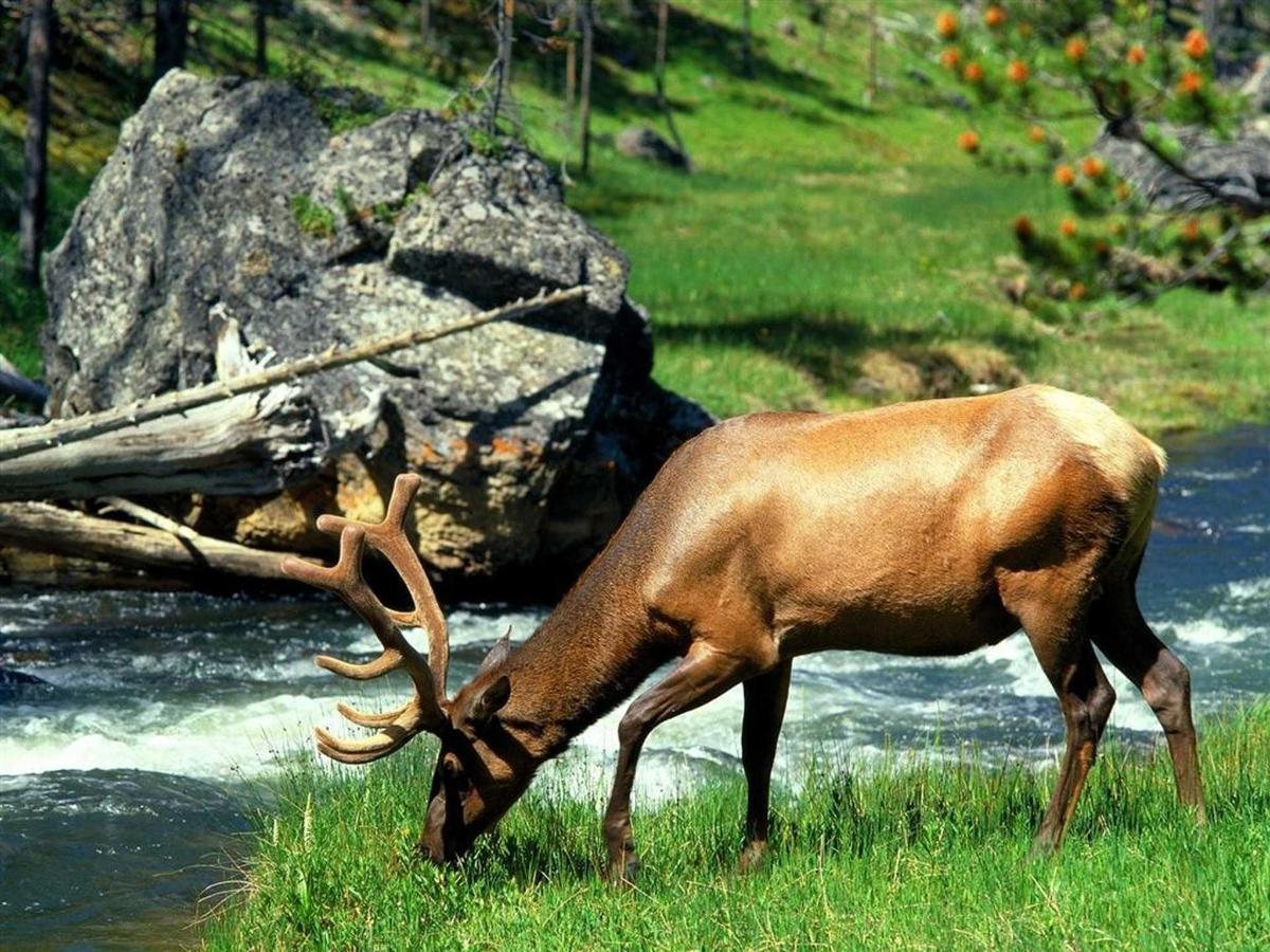 Grazing-Bull-Elk-Yellowstone-National-Park-Wyoming.jpg.1920x0.jpg