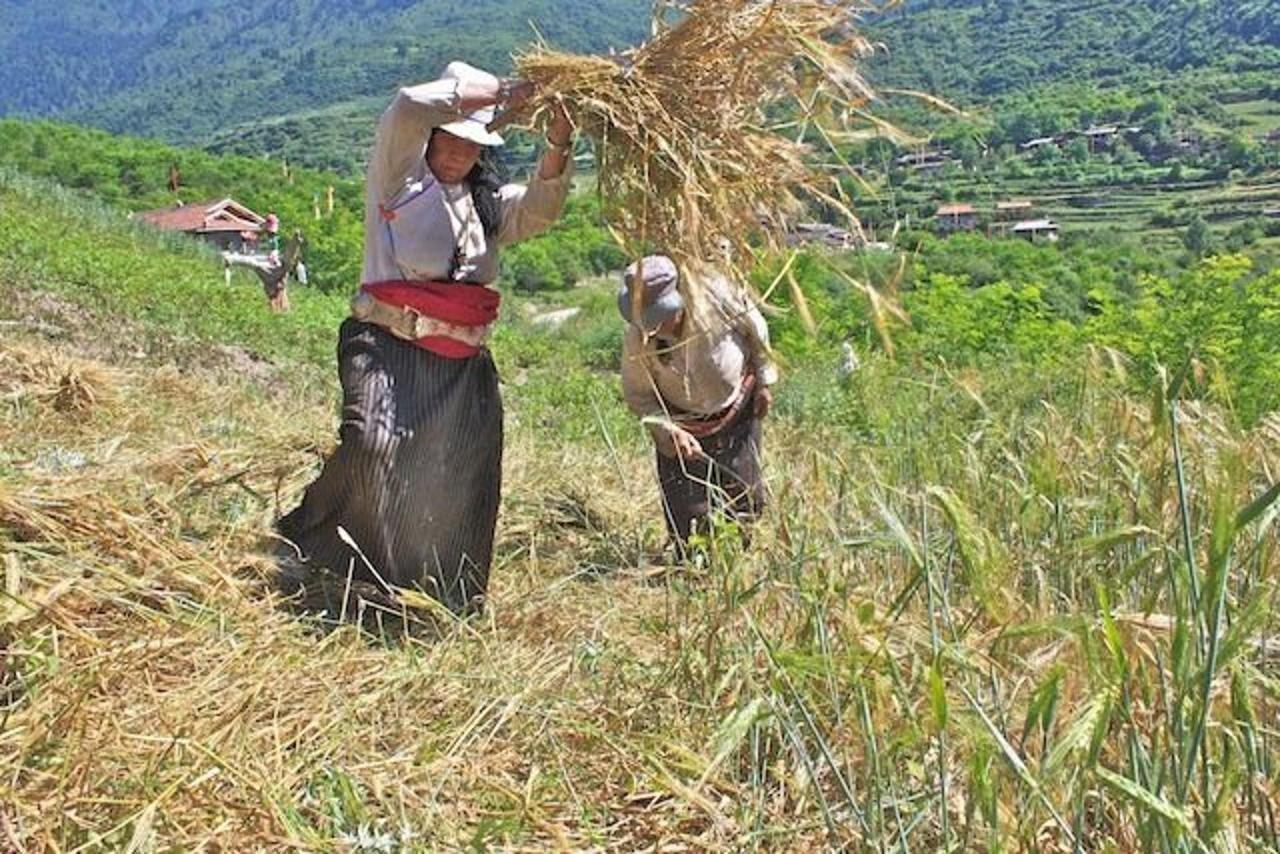 Ama and her sister harvesting the barley.