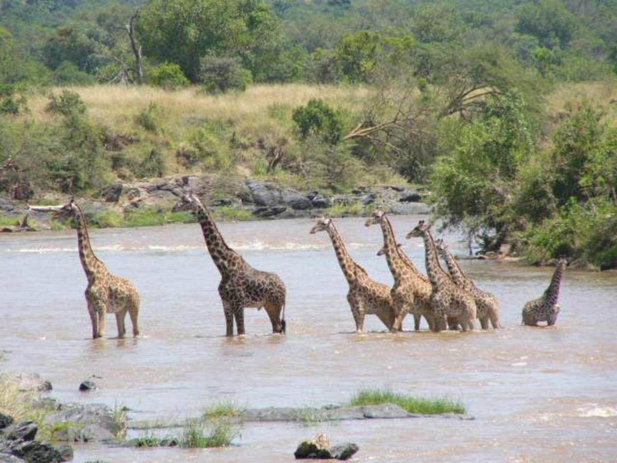Giraffe crossing Mara river.jpg