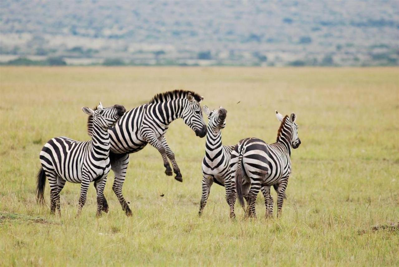 Zebras in the Mara North Conservancy.jpg