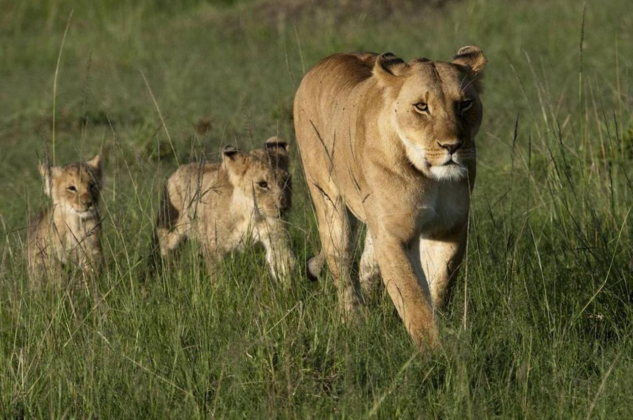 Lion and cubs.jpg
