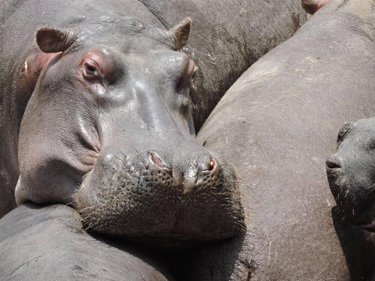 Lazy hippos.jpg