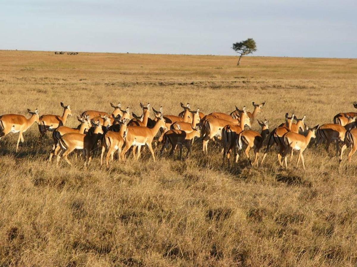 Impala in the Mara.jpg