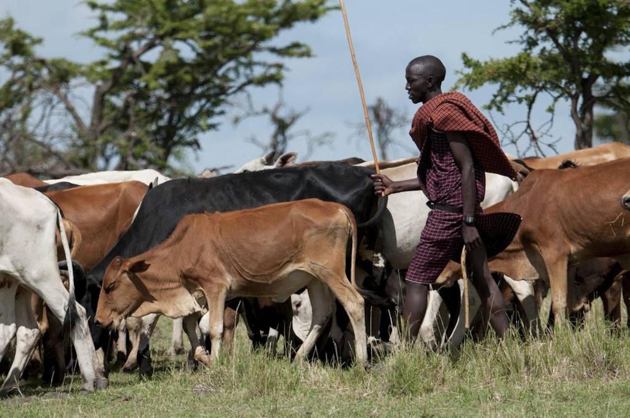 Maasai cattle herder.jpg