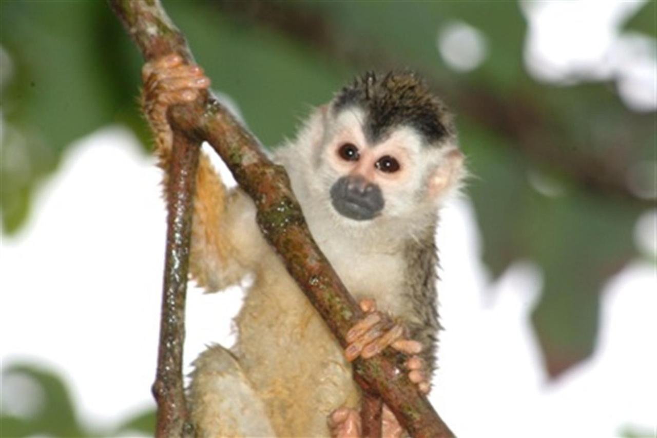 squirrel-monkey-3sm.JPG.1024x0.JPG