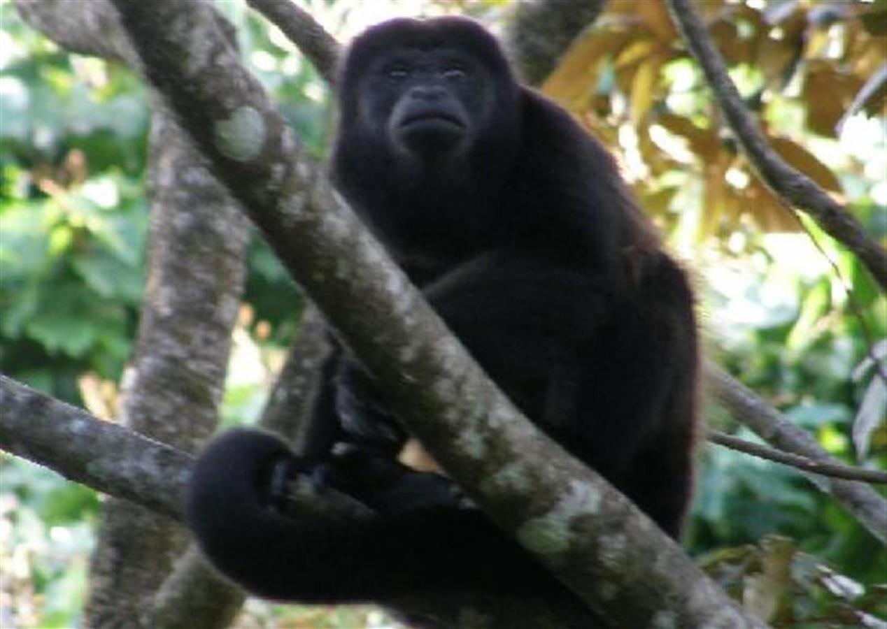 howler-monkey-2.jpg.1024x0.jpg
