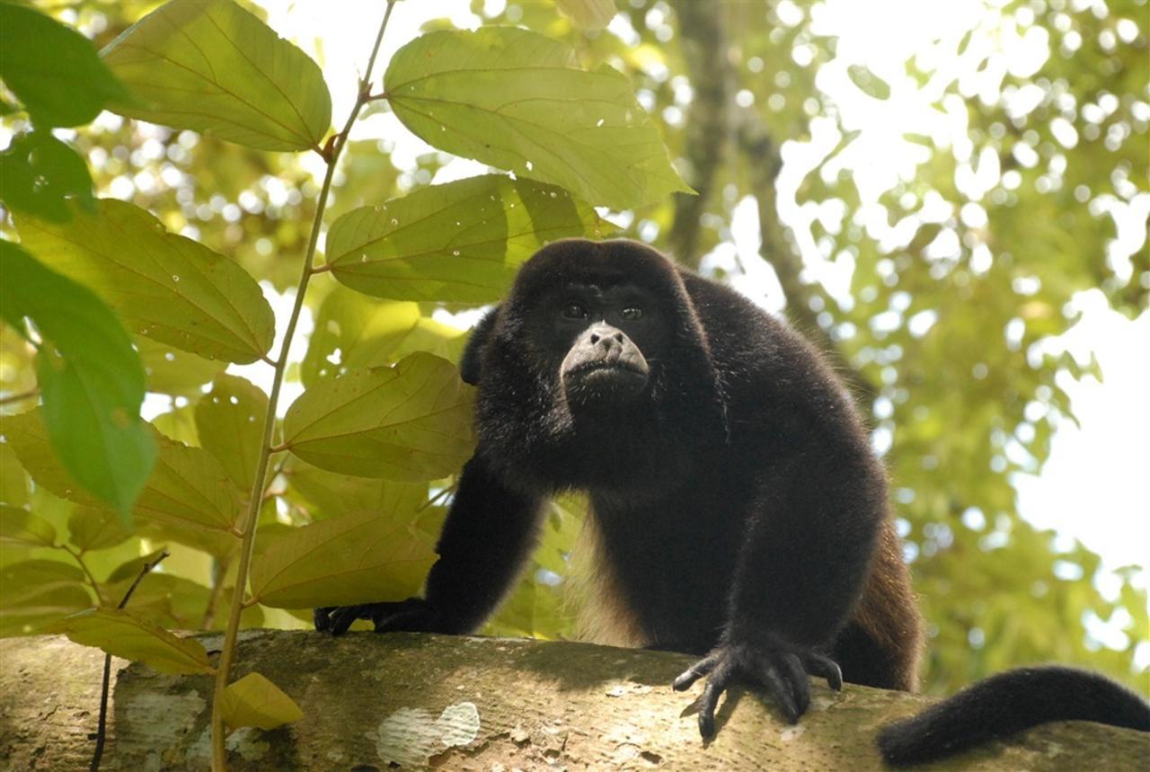 howler-monkey-300-dpi.jpg.1024x0.jpg