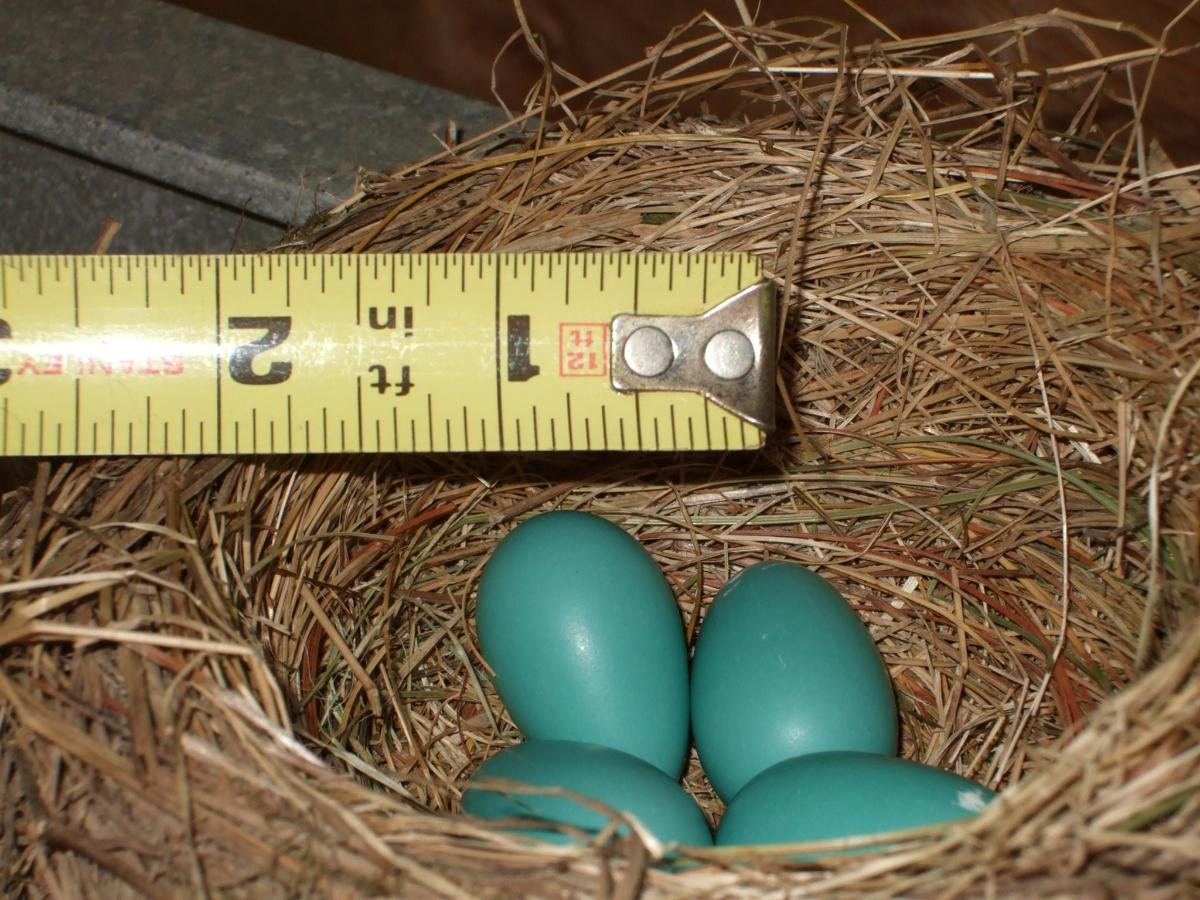 tiny-blue-bird-eggs-in-a-nest.jpg.1920x0.jpg