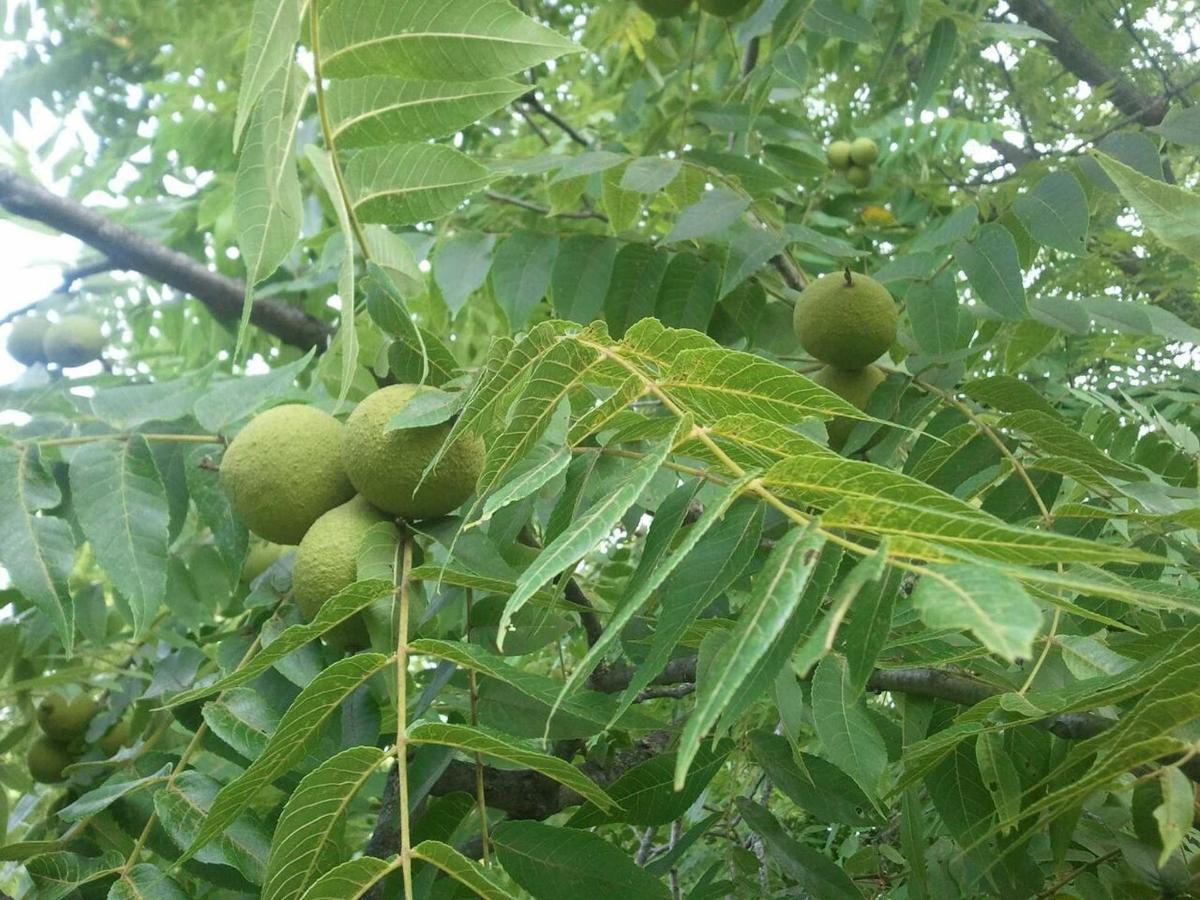 black-walnuts.jpg.1920x0.jpg
