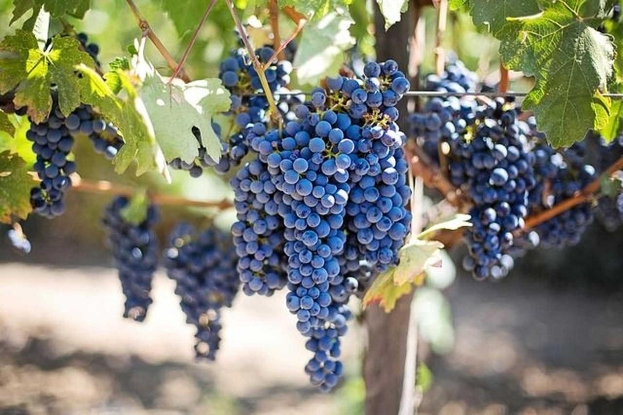 purple-grapes-553464_640.jpg.1920x0 (1).jpg