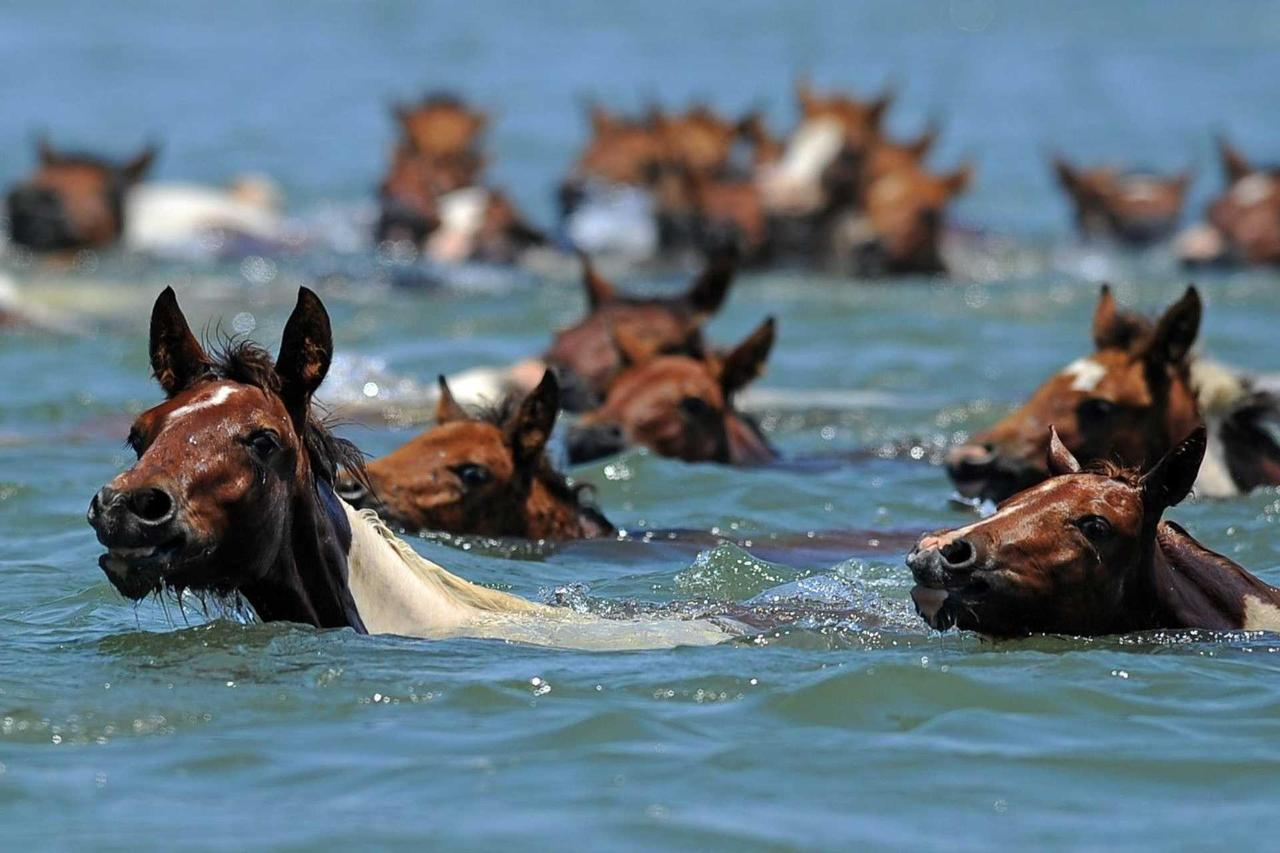 o-chincoteague-pony-swim-facebook.jpg.1920x0.jpg