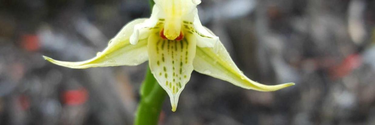 orquidea-amarilla.jpg