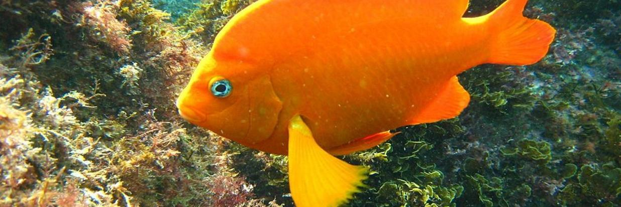 Meet the Garibaldi on Your Laguna Beach Vacation