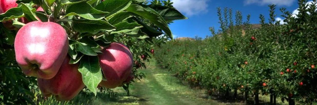 Autumn Apple Picking at Hilltop Orchards