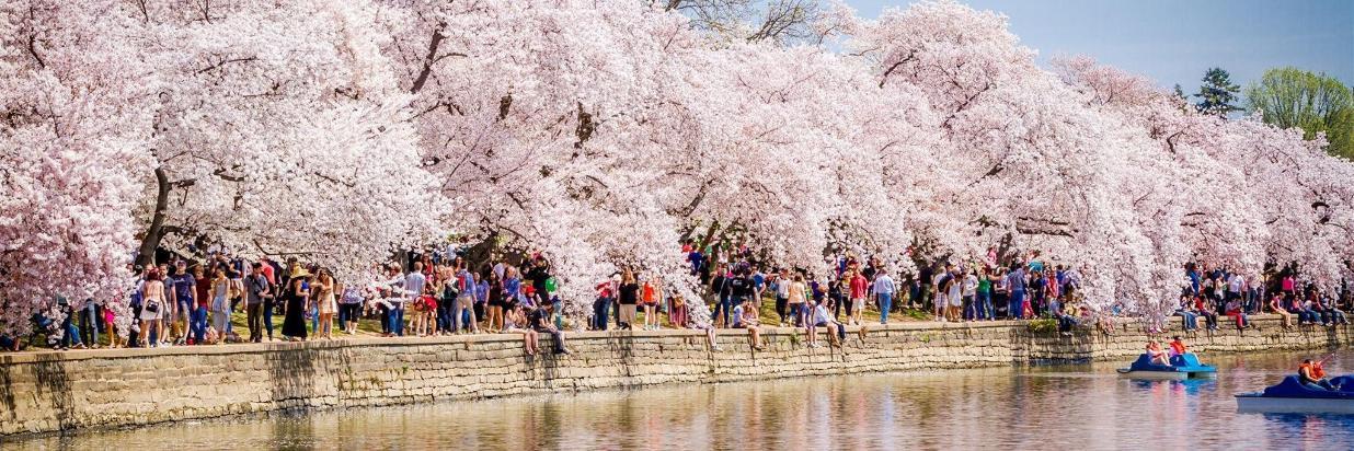 Cherry Blossom Festival Offer