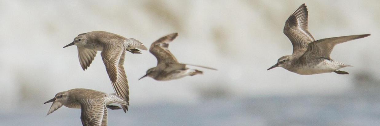 A importância das aves migratórias