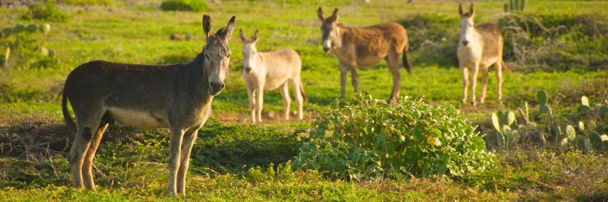 Aruba Donkeys in the Wildlife.jpg