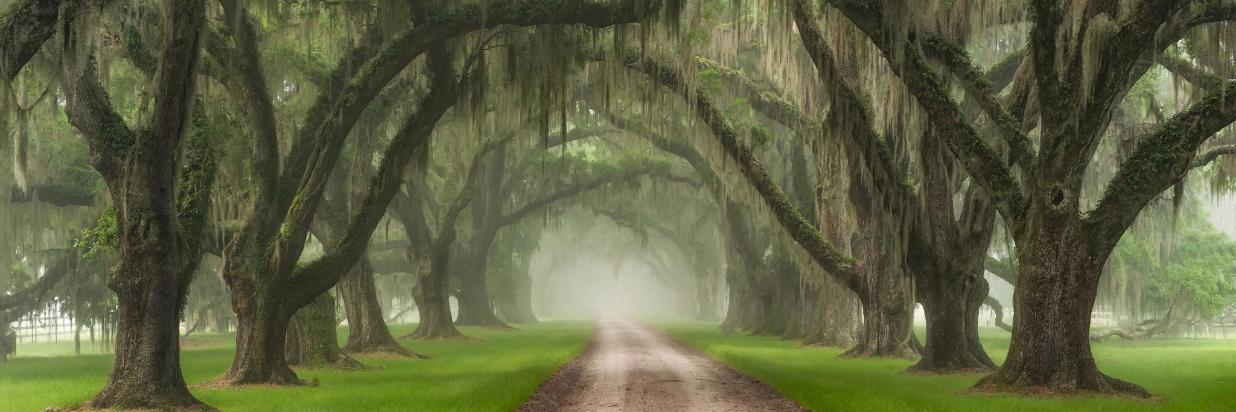 SC530Live Oak Tree Tunne.jpg