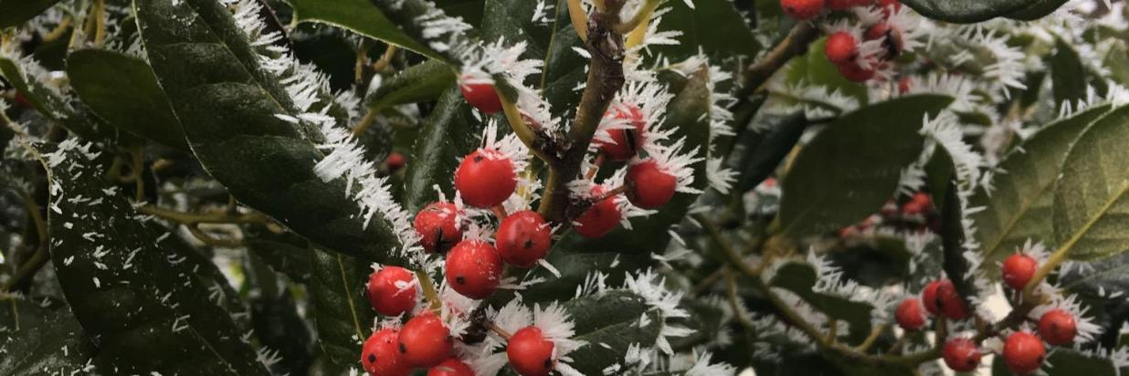 winter berries.jpeg
