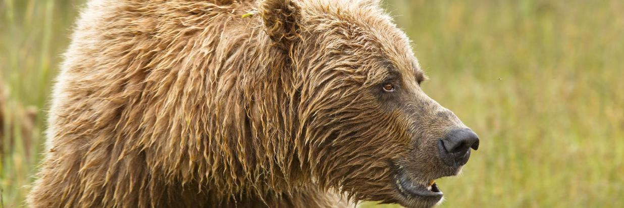 Grizzly By rusugrig-AdobeStock_44189482.jpeg