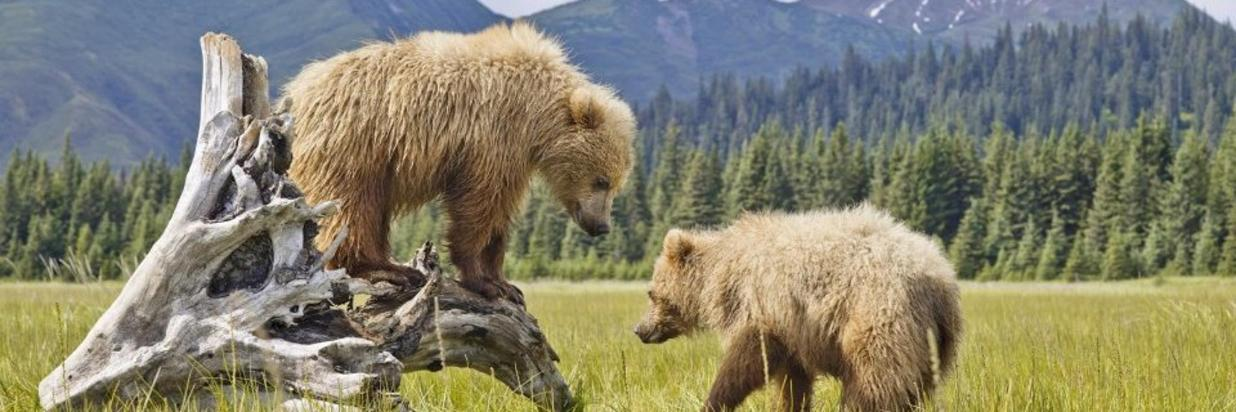 baby bears in denali.jpg