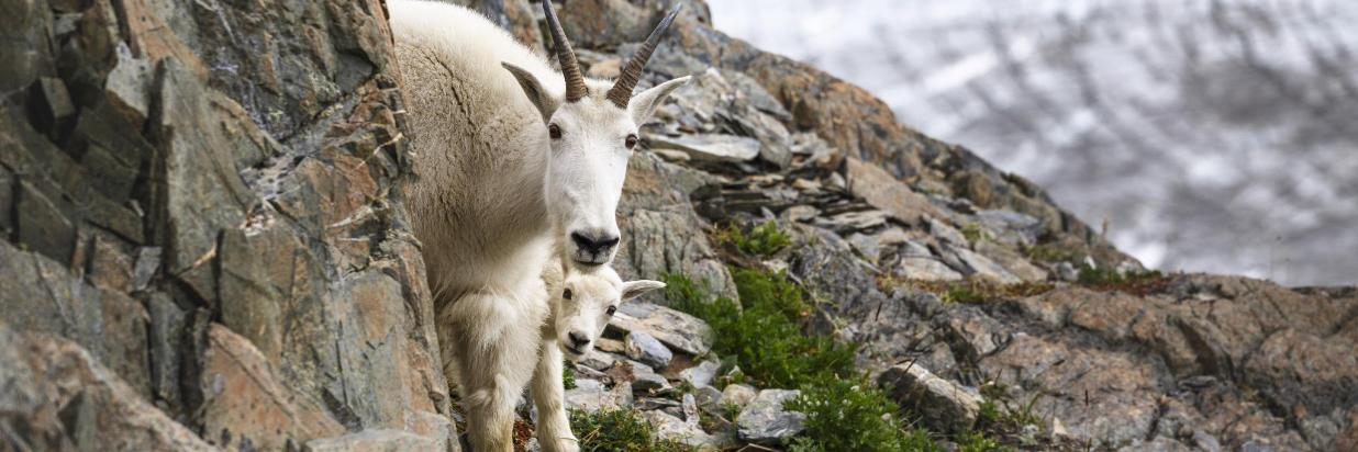 Mtn Goat and baby-By sunsinger AdobeStock_174871648.jpeg