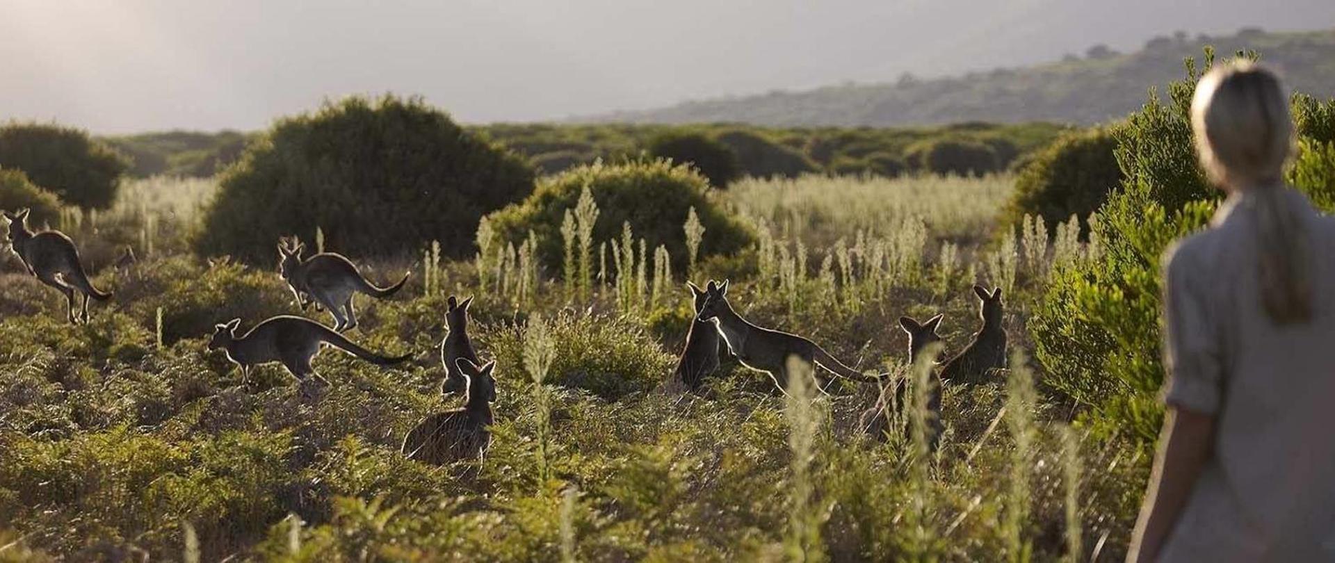 Kangaroos grazing.jpg