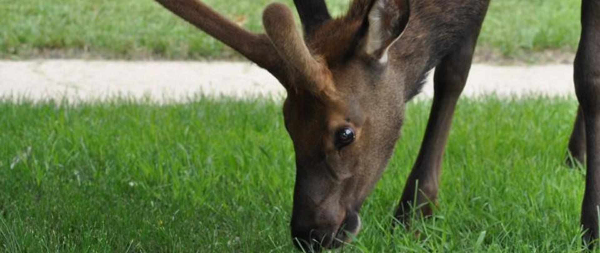 young-elk1.jpg