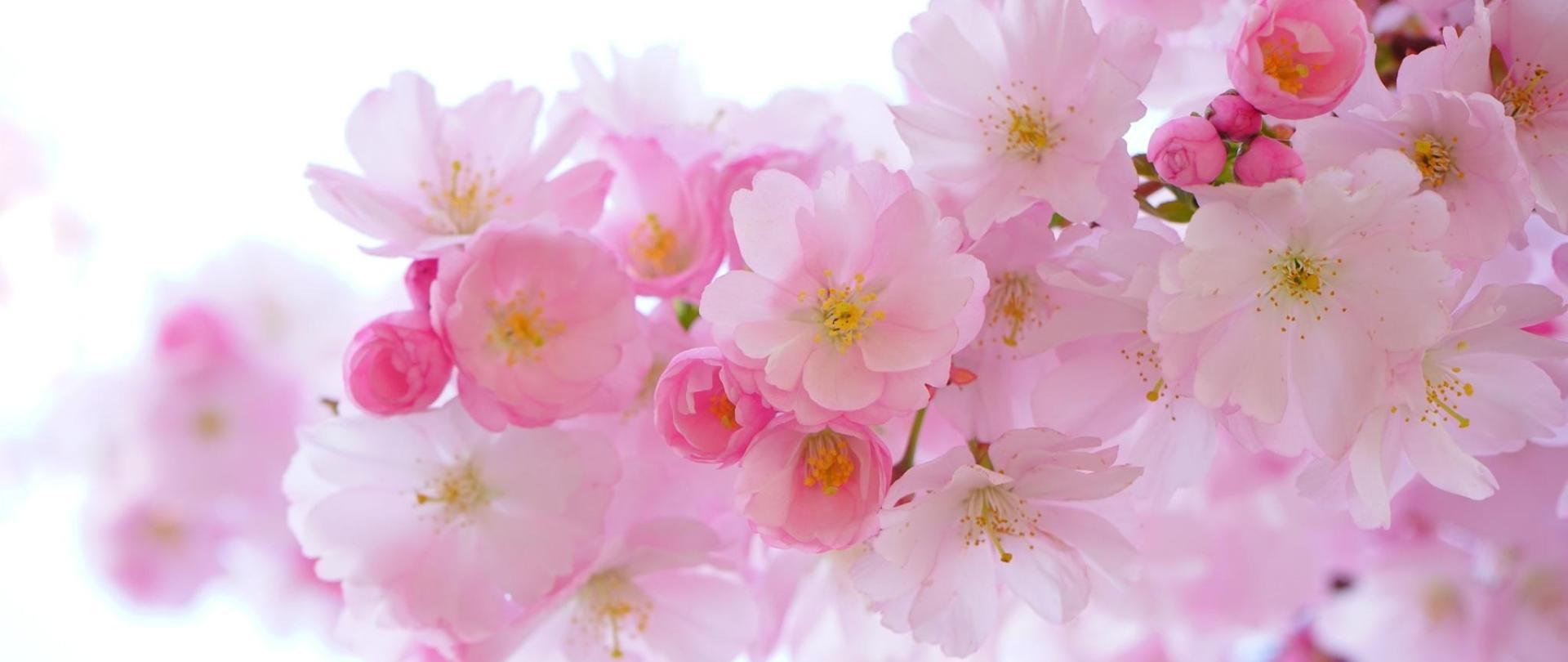 japanese-kirsebærtræerne-blomster-fjeder-japanese-blomstring-kirsebær-54630.jpeg