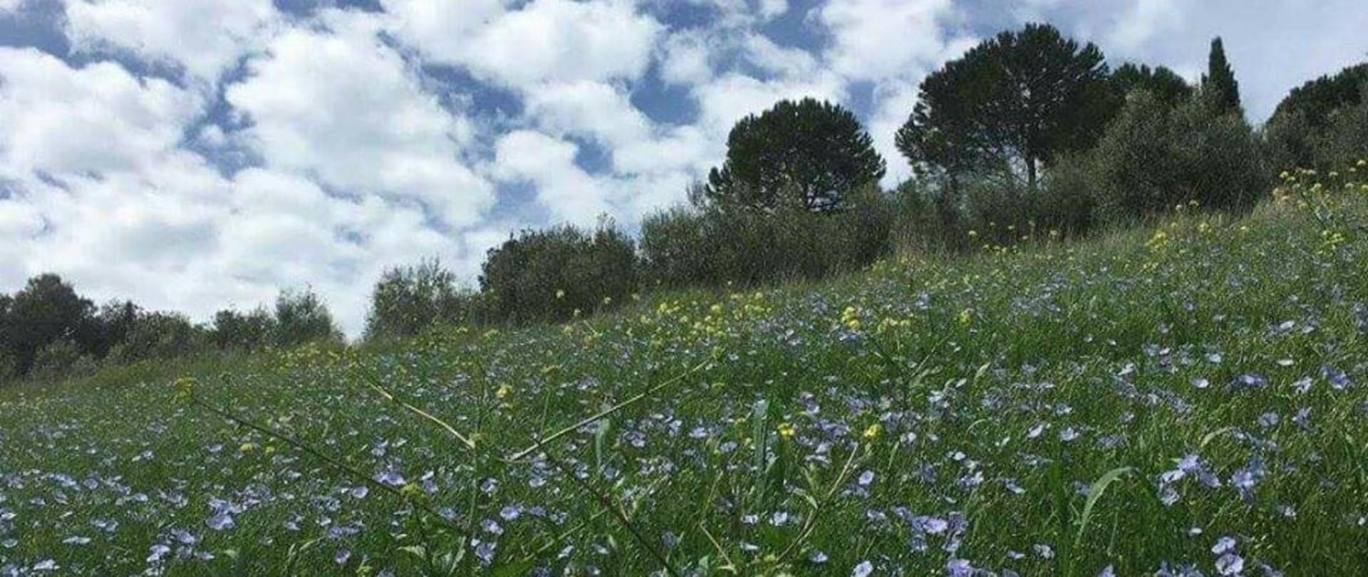 fiori di lino.jpg