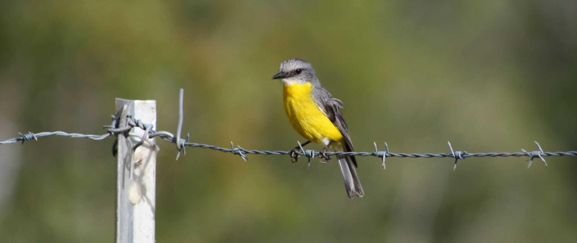 eastern_yellow_robin_larger.jpg