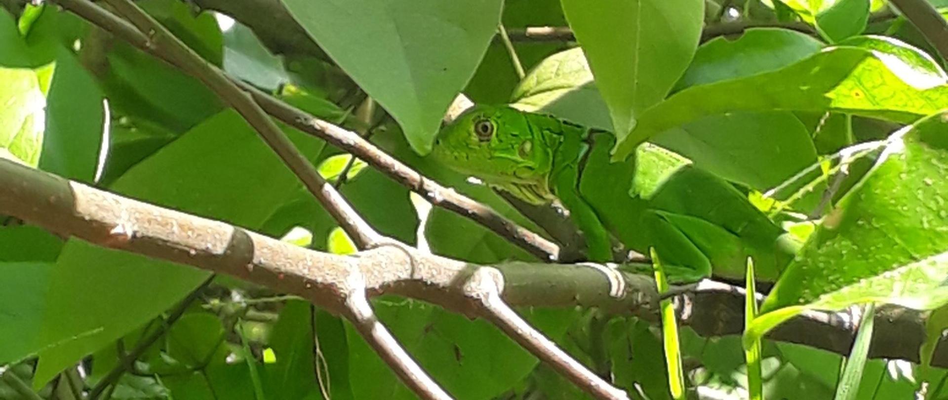 iguana web.jpg