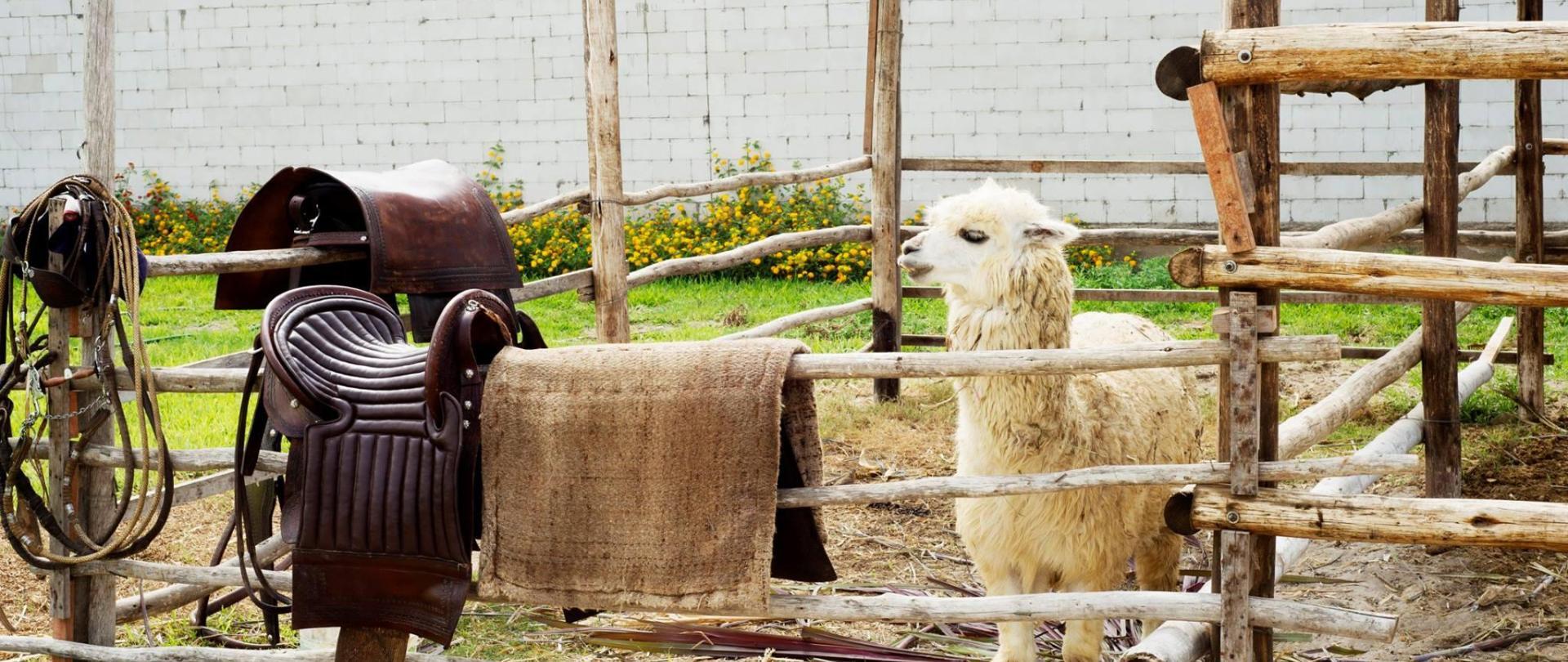 Paco Llama.jpg