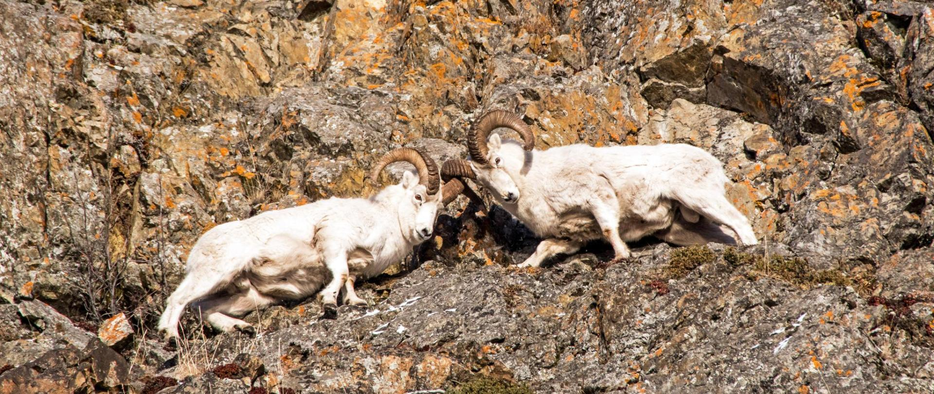 Dall Sheep Fight© Rocky Grimes AdobeStock_184483034 (2).jpeg