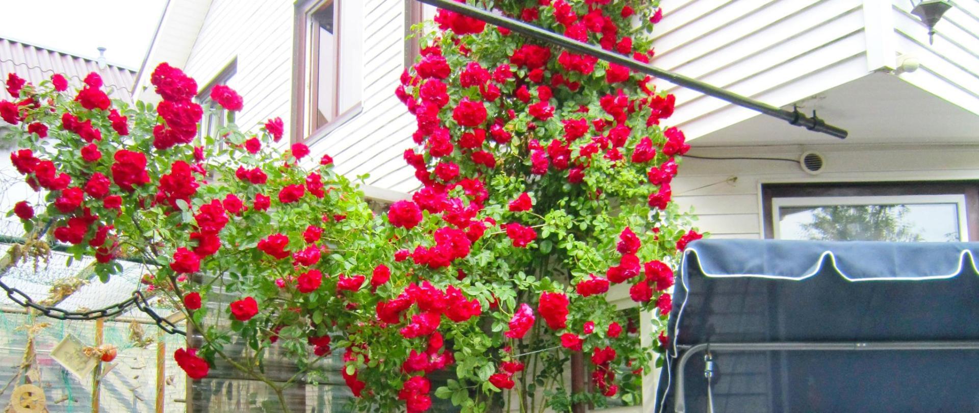 l Inkaras Rose b.JPG