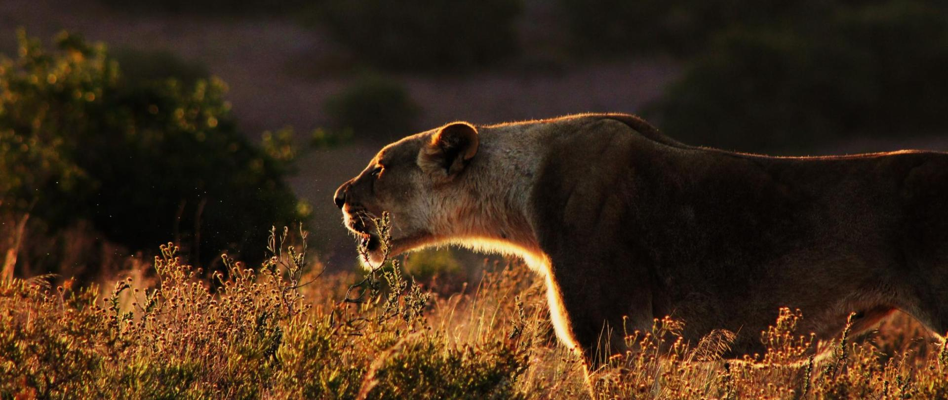 David_Lioness.jpg