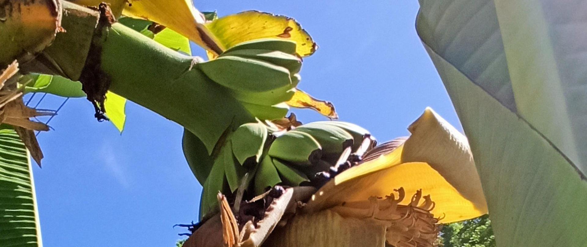 bananes 2.jpg