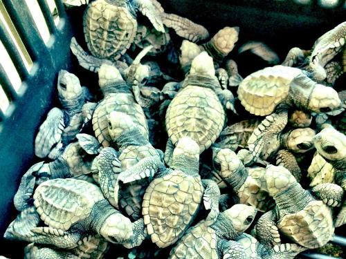 The Playa Viva Turtle Sanctuary