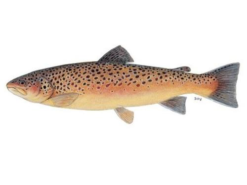 About Trout