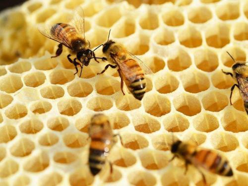 bees-352206_960_720.jpg