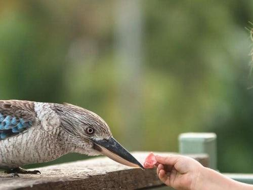 feeding-the-kookaburra.jpg