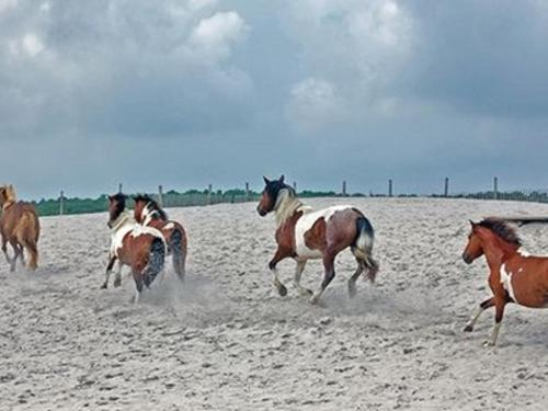 Fall Roundup of Chincoteague Ponies on Assateague