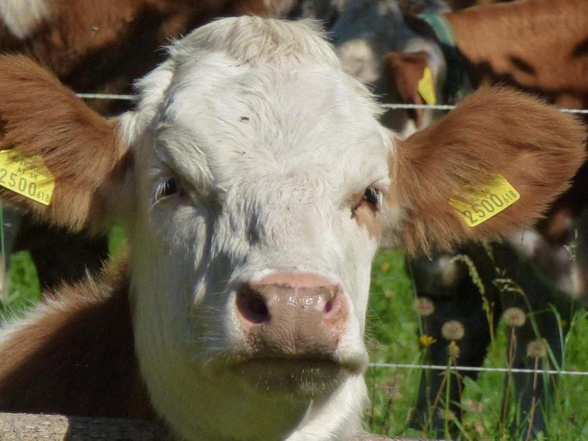 Vieh auf steirischen Weiden