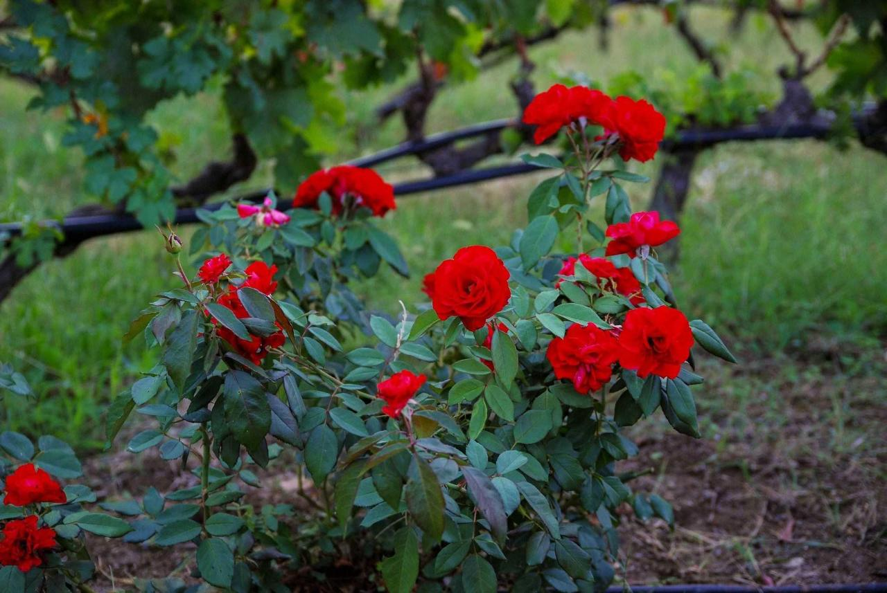 vingård Roses