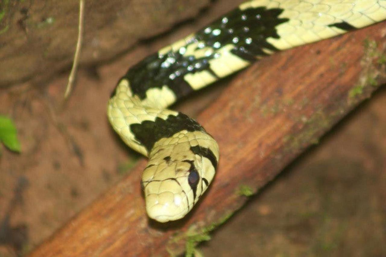 tiger-rat-snake.jpg