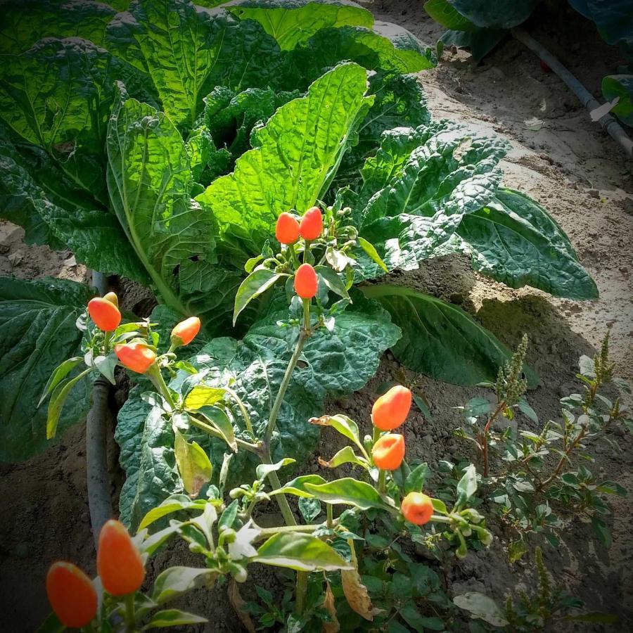 plantes chili.jpg