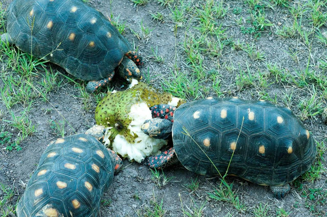 Tortoises enjoying Soursop.jpg